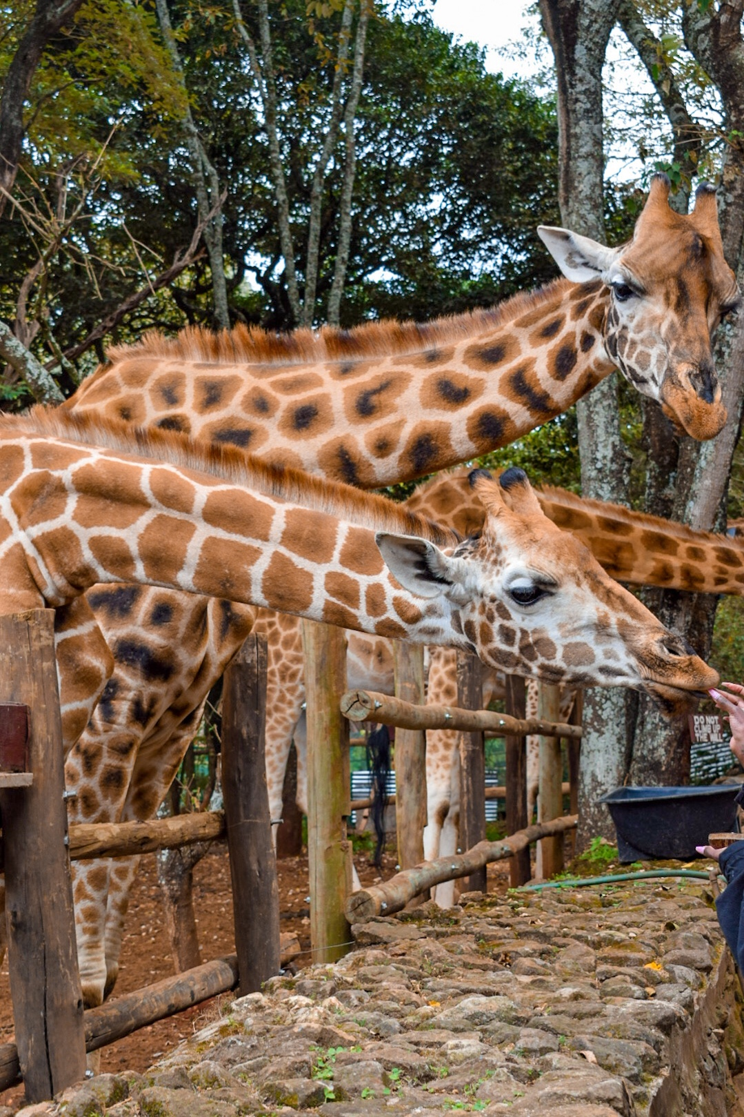 Giraffes at the lower deck of the Giraffe Centre